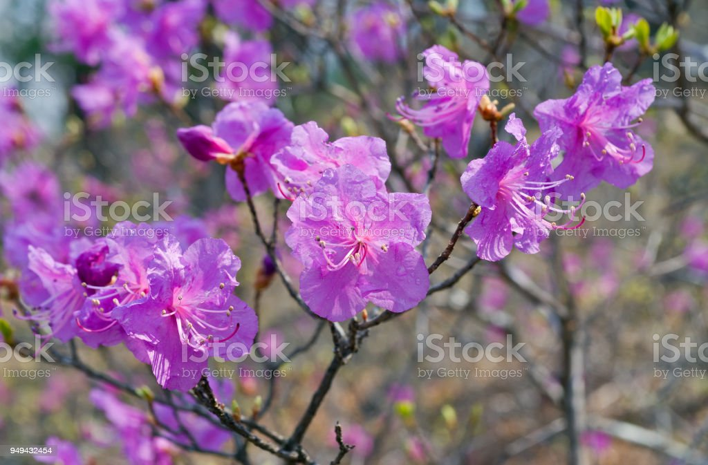 Blooming rhododendron 16 stock photo