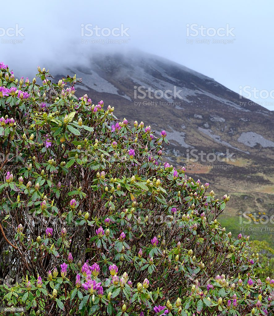 Blooming rhododendron bush stock photo