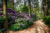 Blooming rhododendron garden, Hungary