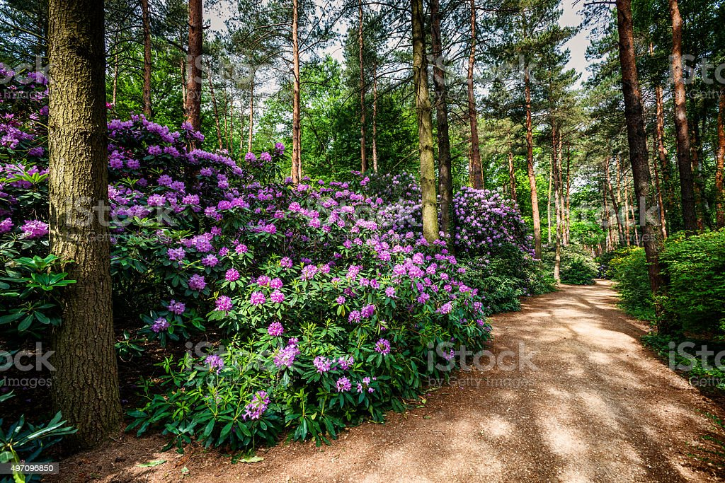 Blühende rhododendron garden – Foto