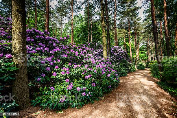 Photo of Blooming rhododendron garden