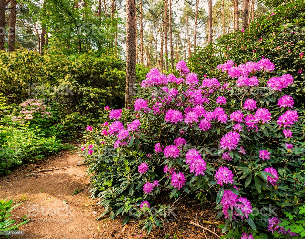 Blooming rhododendron garden stock photo