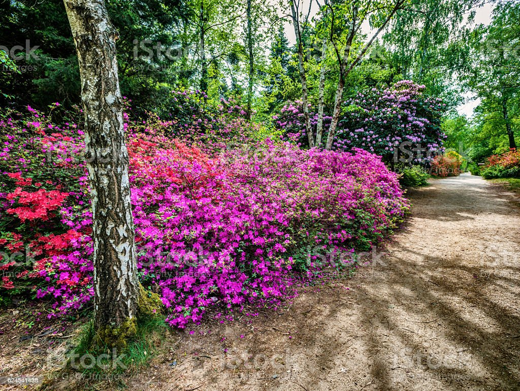 Blooming rhododendron garden bildbanksfoto
