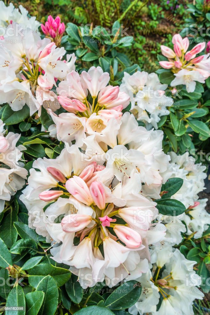 Blooming Rhododendron Macro royalty-free stock photo