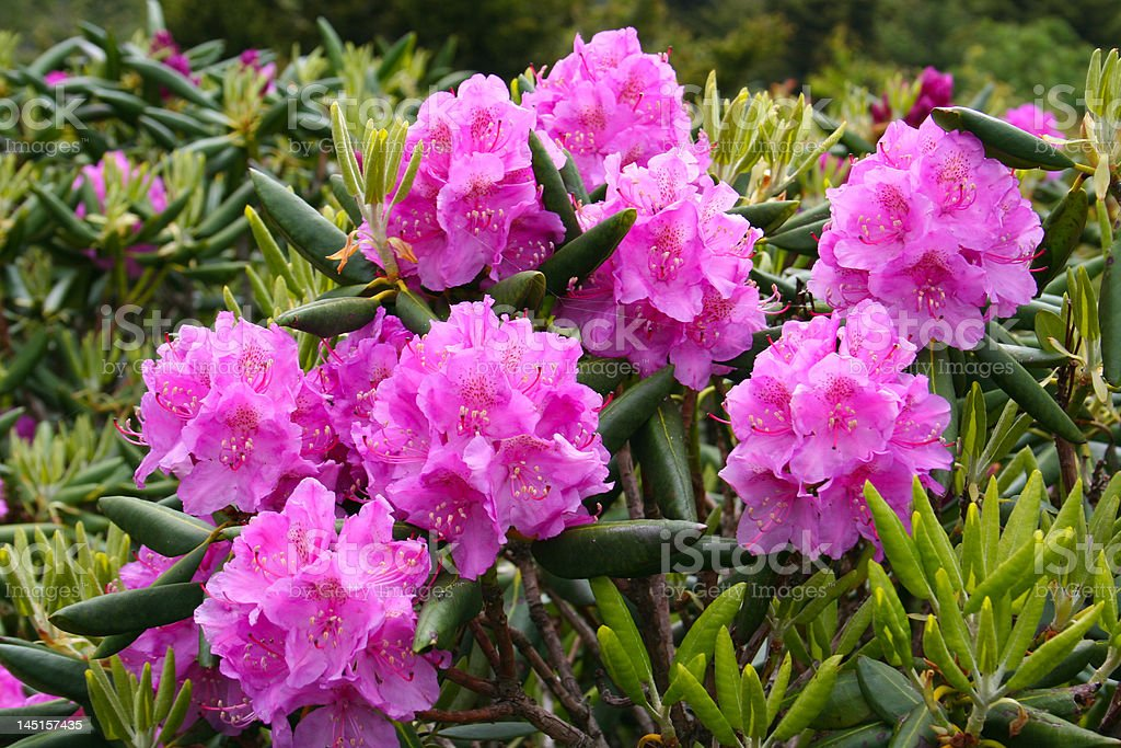Blooming rhododendron stock photo