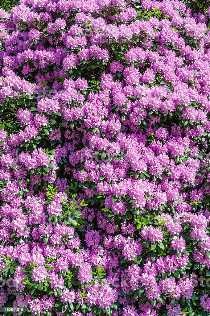 Blooming Rhododendron royalty-free stock photo