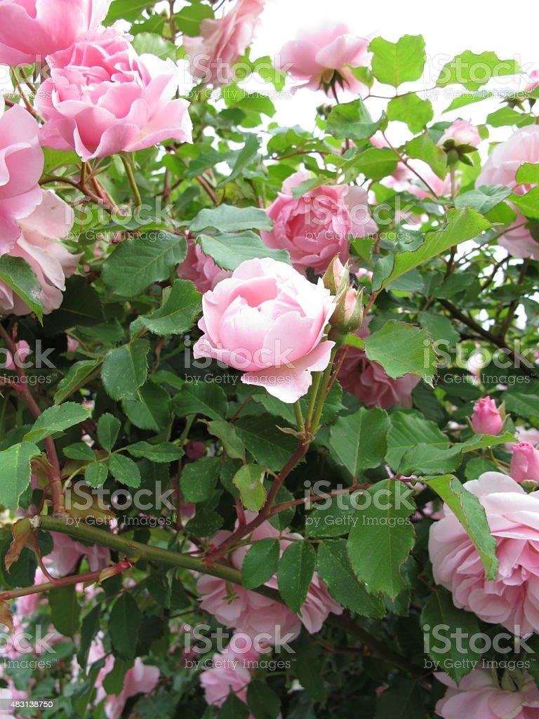 Blooming rose bush stock photo