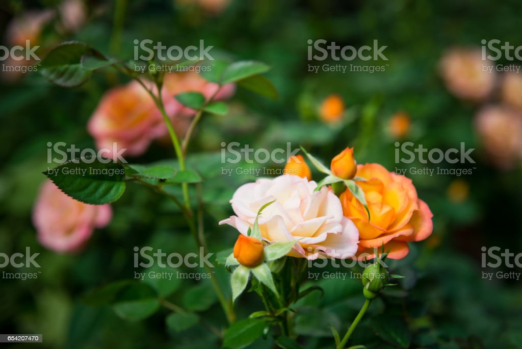 blooming rose bush vin the garden. stock photo