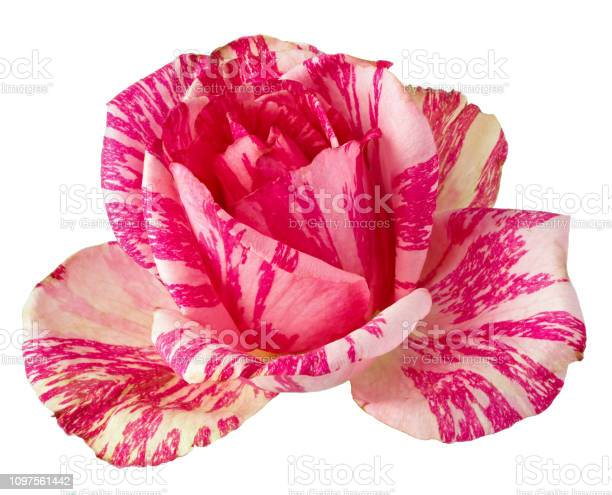 Blooming rose flowers perennial plant isolated on white background picture id1097561442?b=1&k=6&m=1097561442&s=612x612&h=53sd 3eqohfrssft778gazbpmadoq8gofckgjr6ddeo=