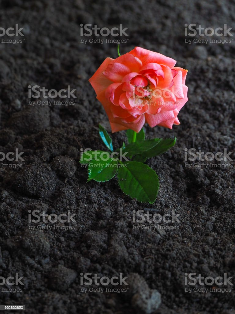 Floração rosa na terra fértil. O conceito de crescimento e prosperidade. - Foto de stock de Agricultura royalty-free
