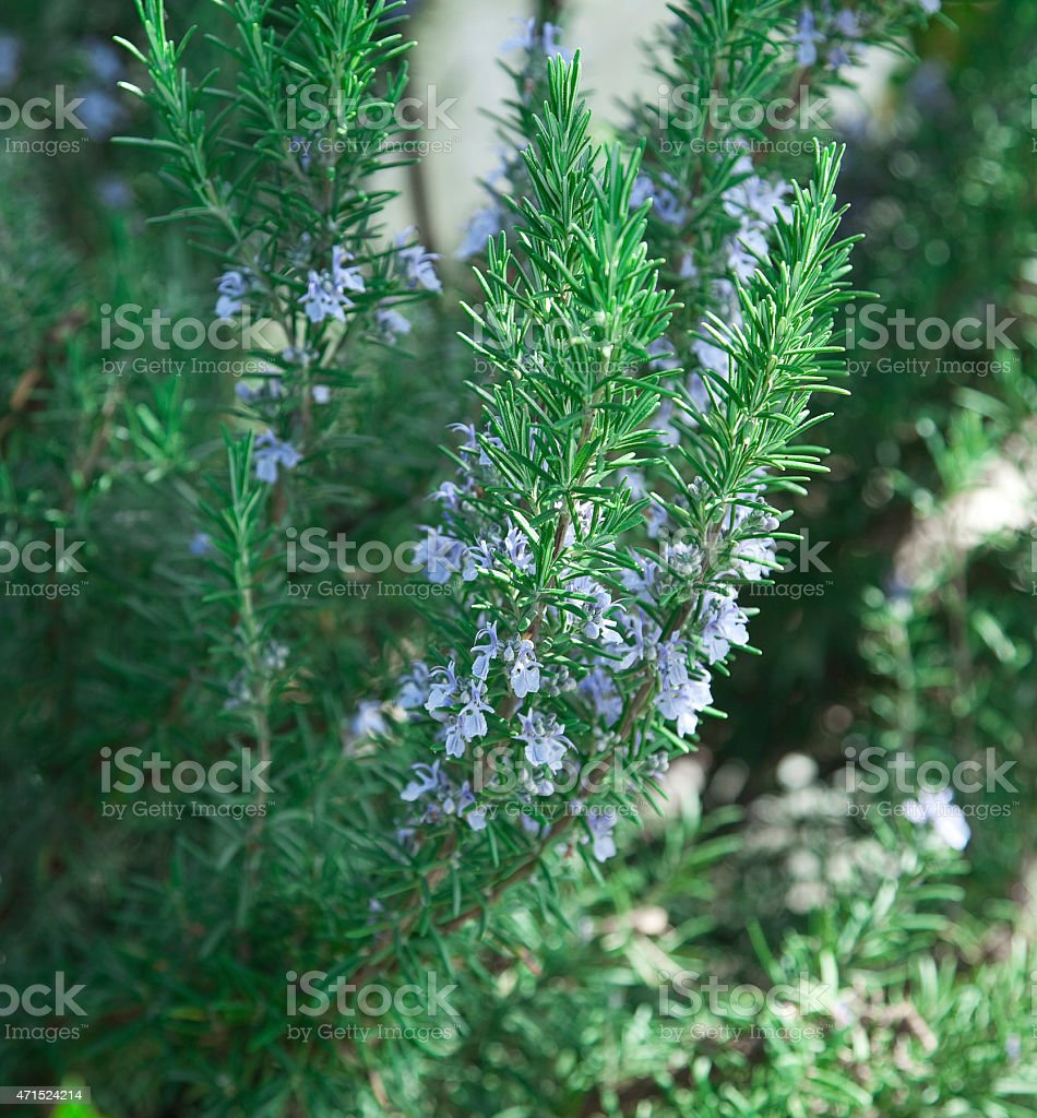 Blooming Rosemary stock photo