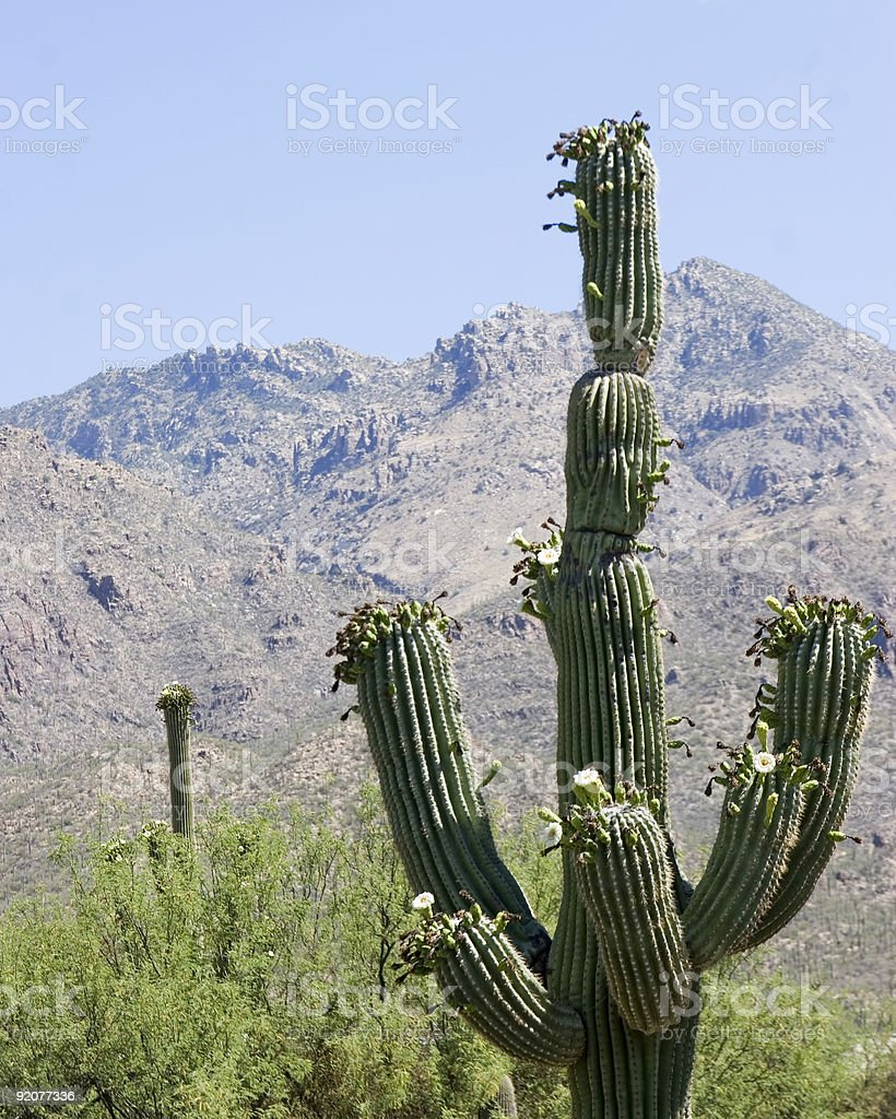 blooming saguaro cactus in the Southwest USA royalty-free stock photo