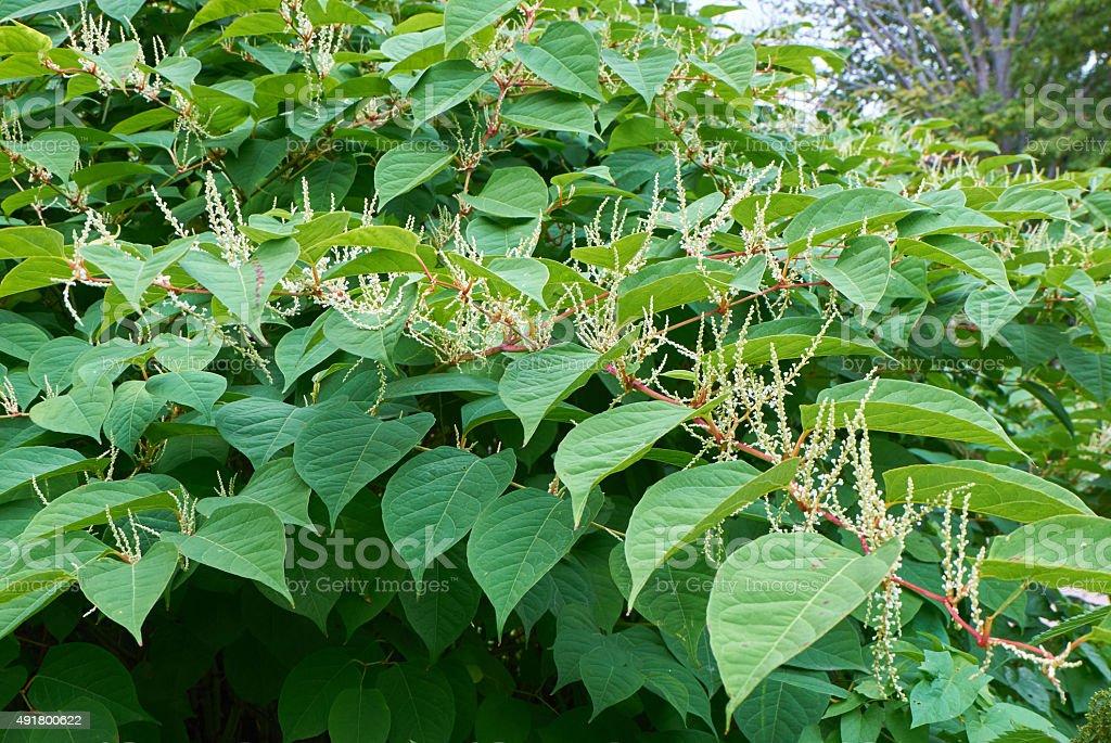 Blooming Sakhalin Knotweed stock photo