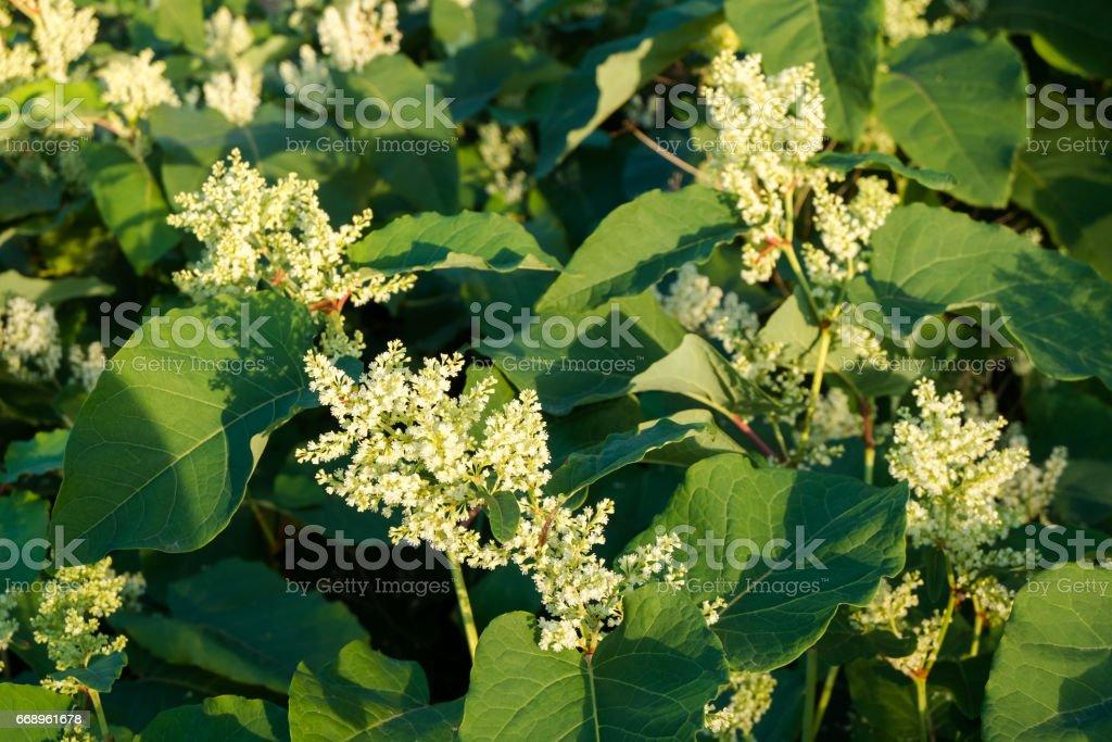 Blooming Sakhalin Knotweed – Foto