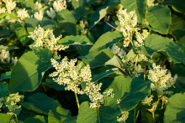 blooming sakhalin knotweed - knotweed stock pictures, royalty-free photos & images