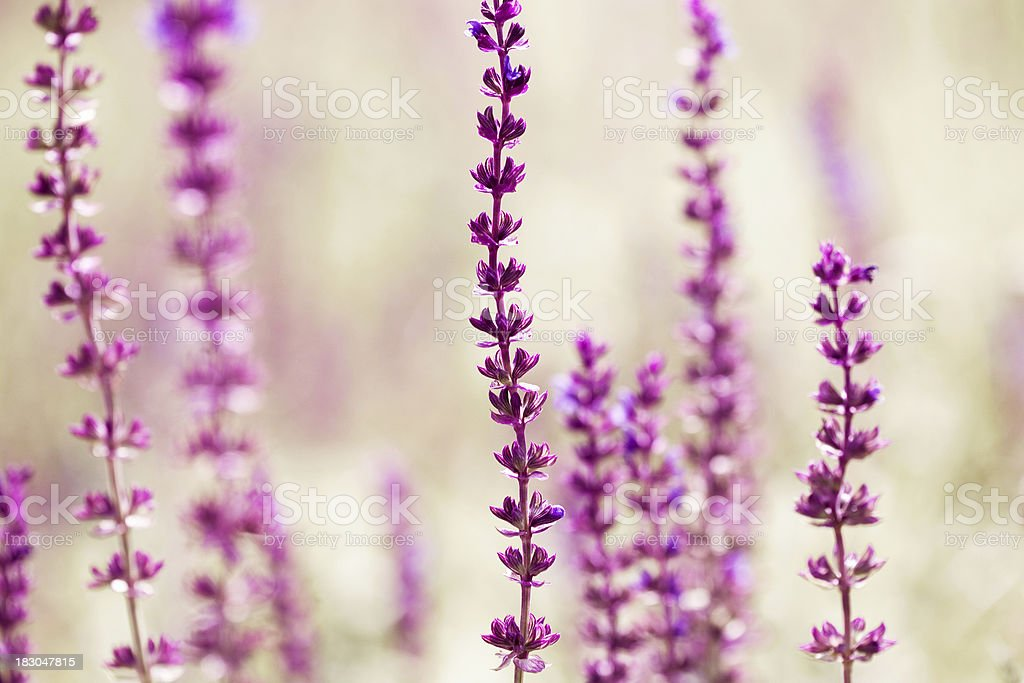 Blooming Salvia leucantha royalty-free stock photo