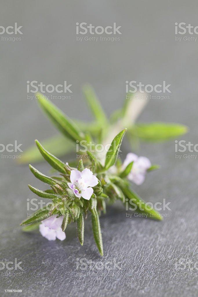 Blooming savory stock photo