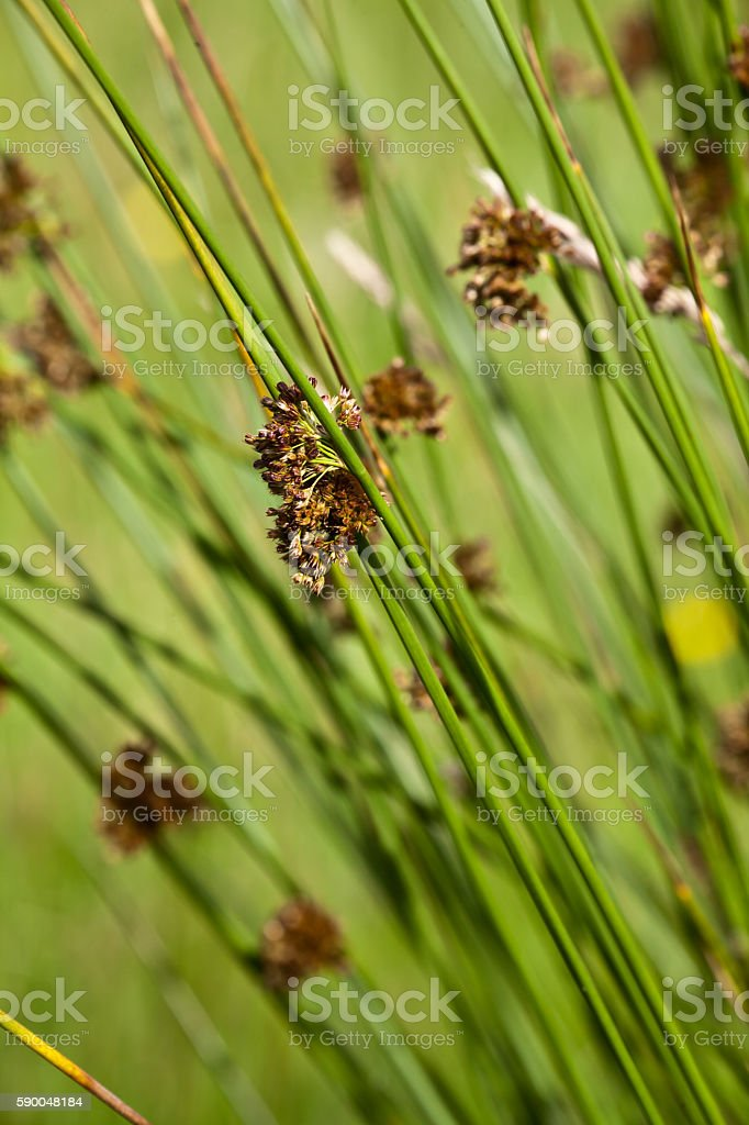 blooming sedge (carex) stock photo