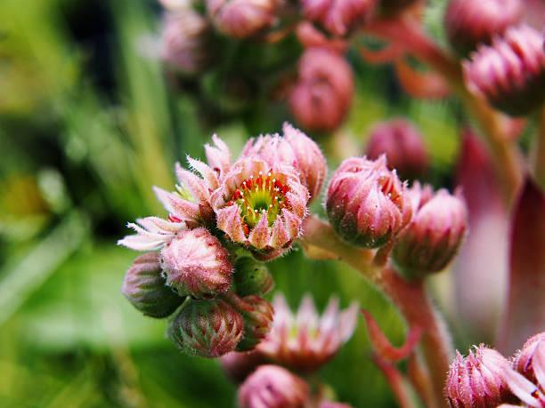 blooming sempervivum tectorum - dachwurz stock-fotos und bilder