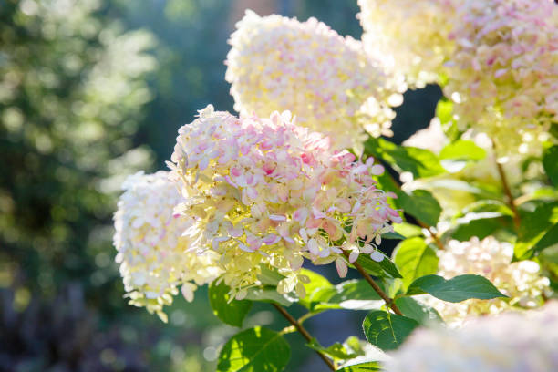 blooming shrub white paniculata hydrangea (hydrangea paniculata) in summer garden. close-up of hydrangea flower. - hortensja zdjęcia i obrazy z banku zdjęć