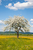 apple tree in spring landscape,