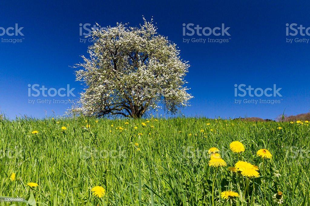 Blooming single apple tree stock photo