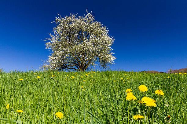 Blühende einem Apple Baum – Foto