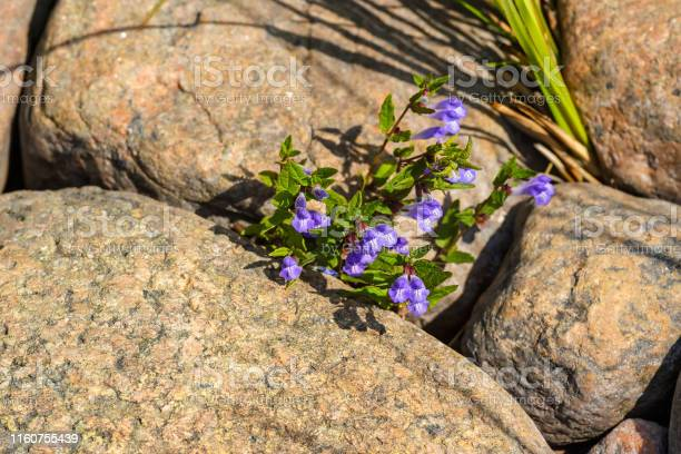 Photo of Blooming Skullcap flowers in a rock crevice