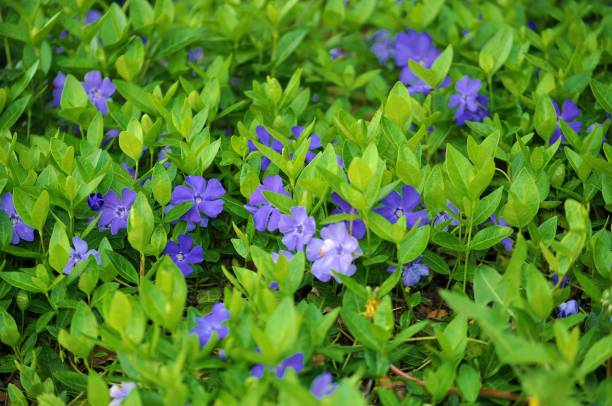 blooming small periwinkle, vinca minor. - evergreen plant stock photos and pictures