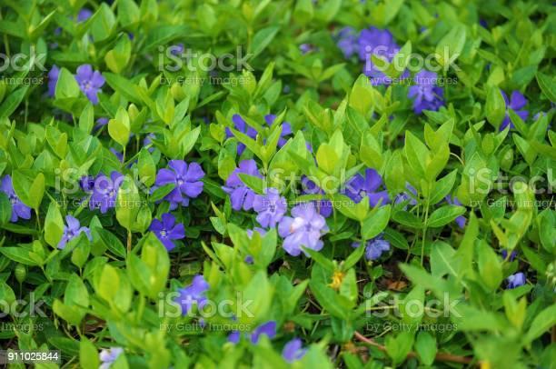 Photo of Blooming Small Periwinkle, Vinca Minor.