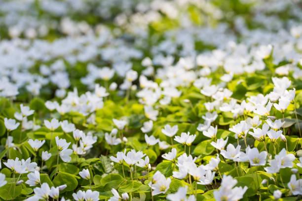 Blühender Sorrel (Oxalis) auf einer Wiese im Wald – Foto