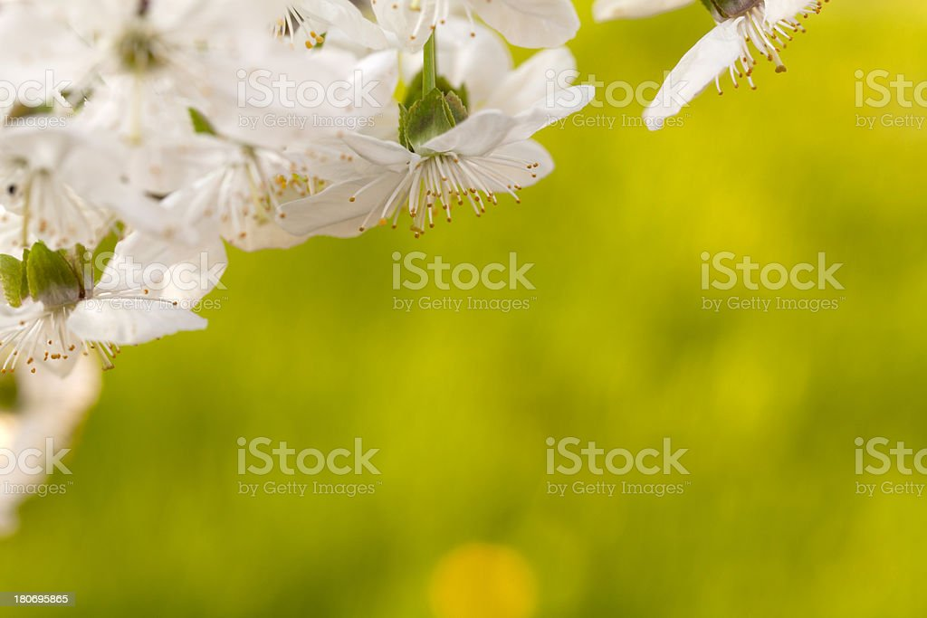 Blooming Sour Cherry Tree in Spring royalty-free stock photo