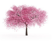Digitally generated blooming sour cherry tree (Prunus cerasus) isolated on white background.\n\nThe scene was rendered with photorealistic shaders and lighting in Autodesk® 3ds Max 2019 with V-Ray 3.7 with some post-production added.