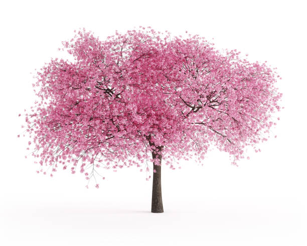Blooming Sour Cherry Tree Digitally generated blooming sour cherry tree (Prunus cerasus) isolated on white background.  The scene was rendered with photorealistic shaders and lighting in Autodesk® 3ds Max 2019 with V-Ray 3.7 with some post-production added. blossom stock pictures, royalty-free photos & images