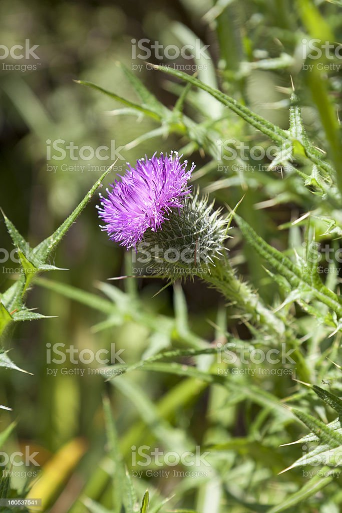 Blooming spear thistle royalty-free stock photo