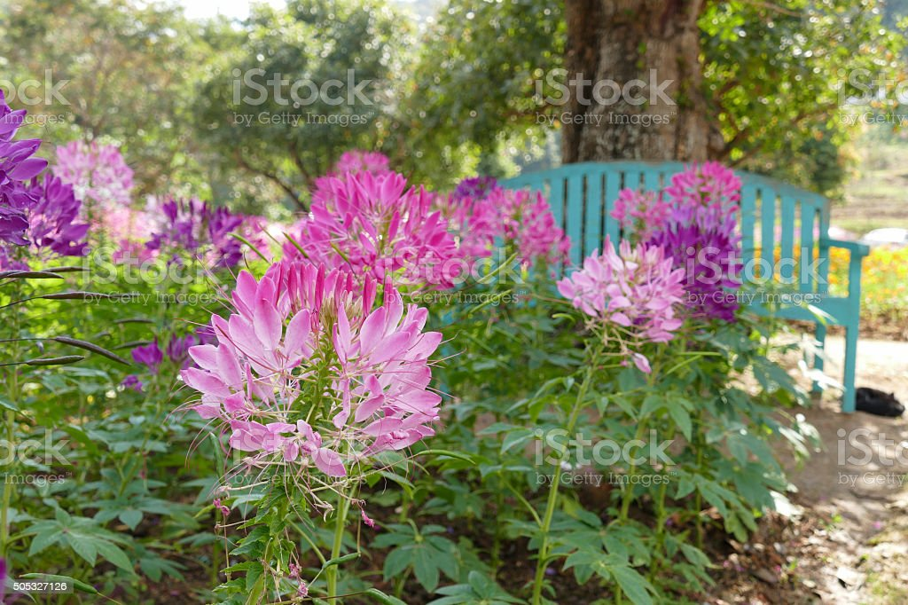 blooming spider flower at the flowerbed stock photo