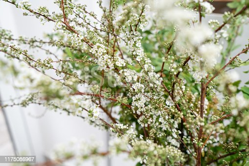 Blooming Spirea, Snow White. Close-up of white spirea blossoms with select focus and blurry background. Flower shop, floristry concept.