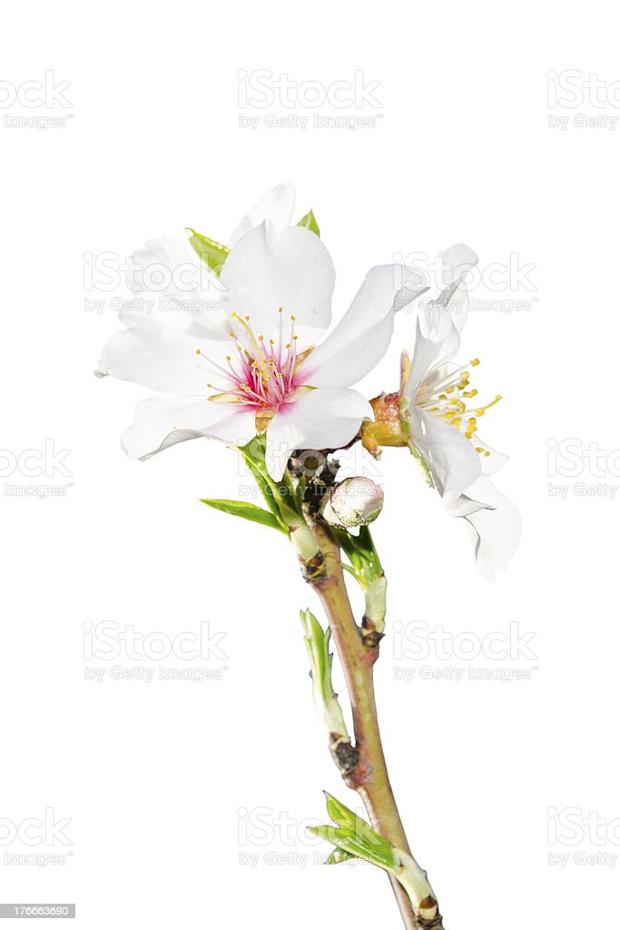 Blooming spring branch isolated on white royalty-free stock photo
