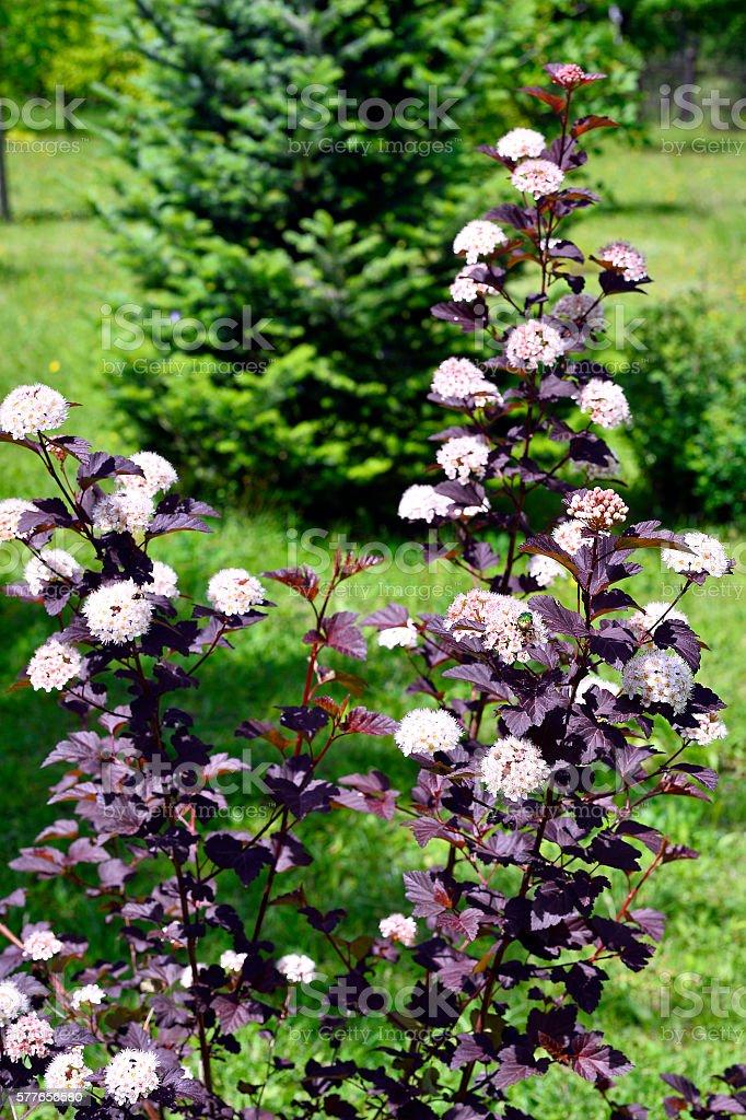 Blooming spring bush physocarpus diabolo in the garden stock photo