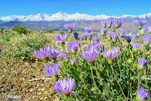 istock Blooming spring flowers, view on Sierra Nevada mountains, California, USA 1129920005