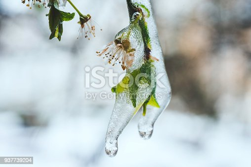 639394370istockphoto Blooming spring leaves covered with ice 937739204