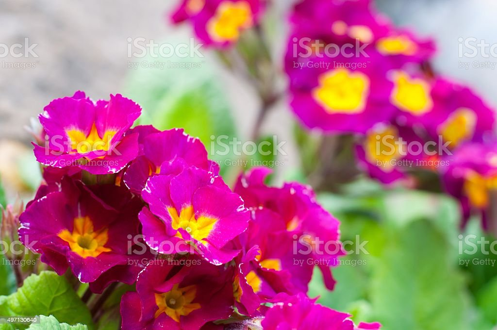 Blooming spring primulas in flower bed stock photo