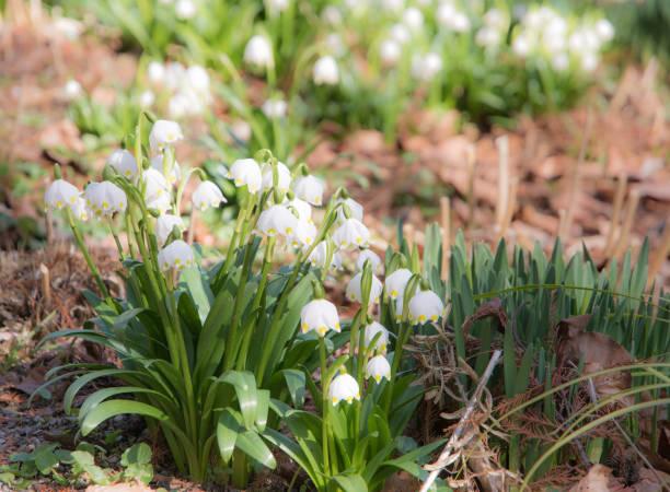 snwoflake frühlingsblumen blühen - leucojum stock-fotos und bilder