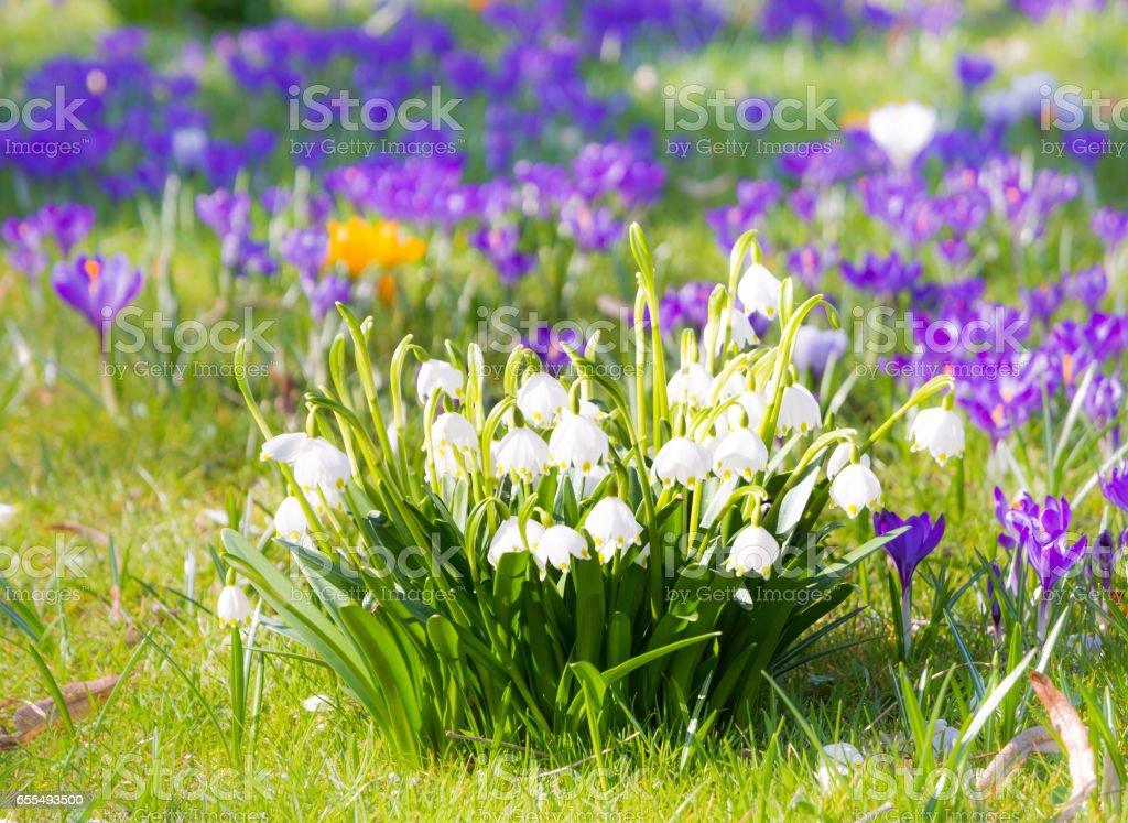Blooming spring snwoflake flowers stock photo