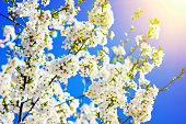 Blooming spring tree branches with white flowers over blue sky in bright sunlight, abstract nature background.