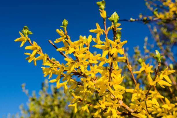 Bahar sarı çalı çiçek - hor çiçeği intermedia çiçek açmış. stok fotoğrafı