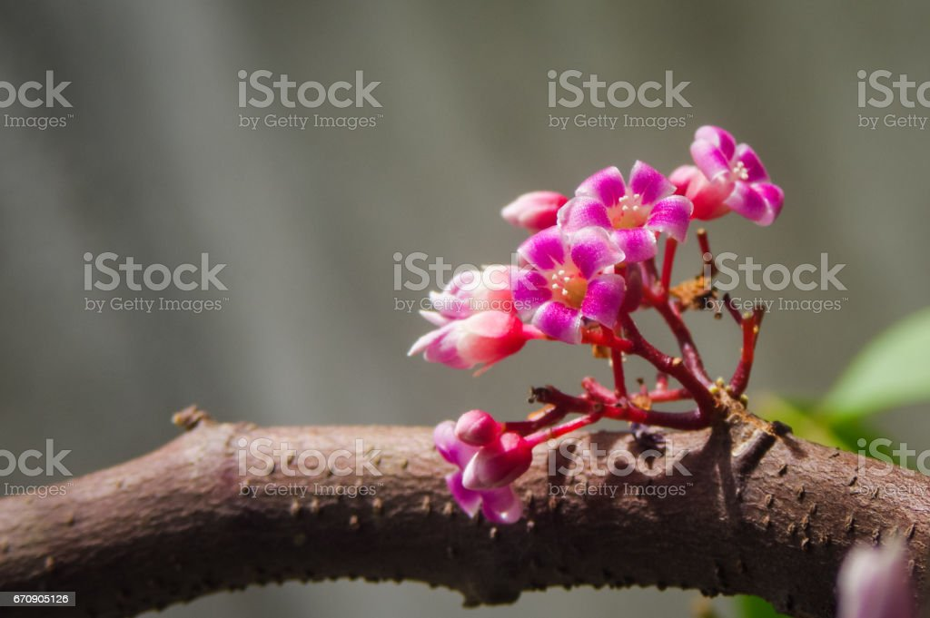 Blooming star fruit flowers on tree branch with clear background stock photo