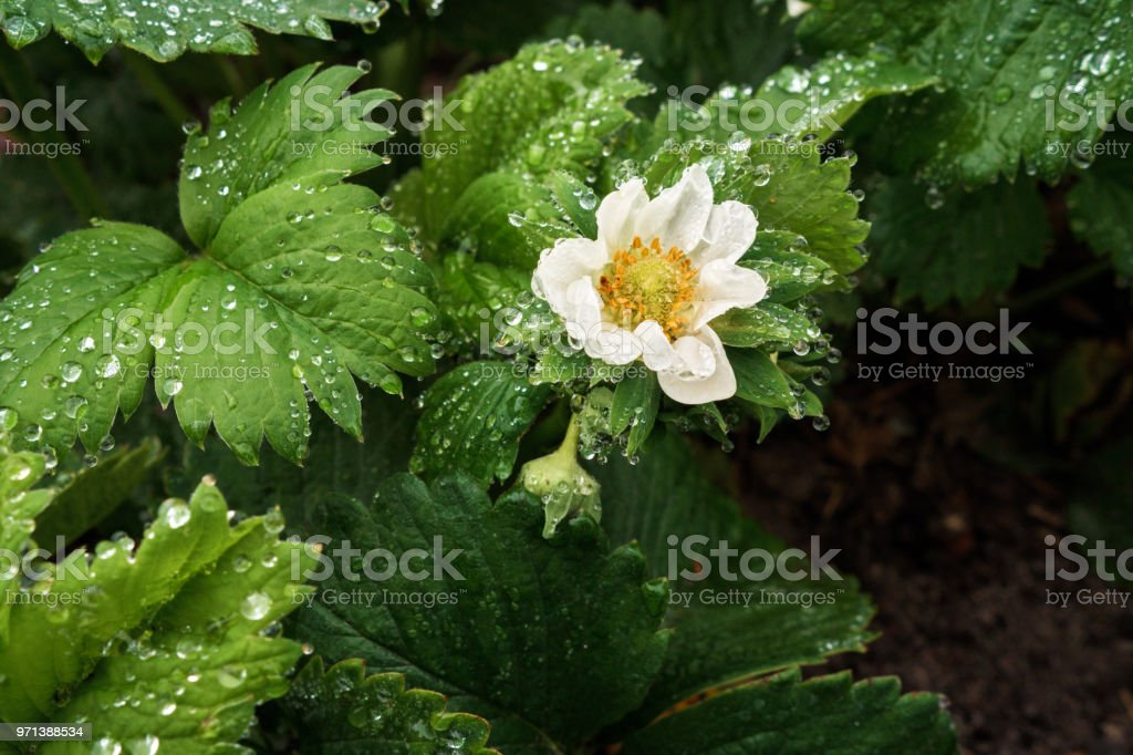 Cтоковое фото Blooming strawberry bush in dew