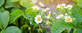 istock Blooming strawberry growing in the garden. Spring berries. Soft selective focus 1334823137