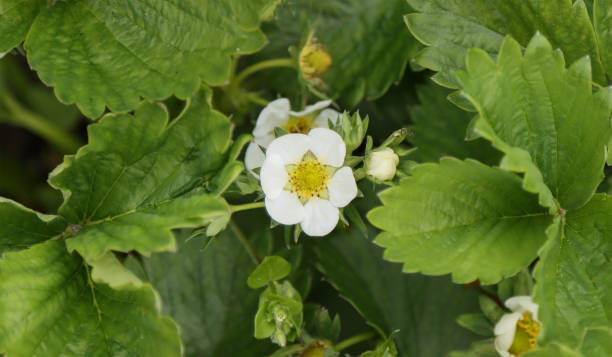 Blooming strawberry plant. stock photo